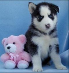 Beautiful Siberian Husky Puppies σε Epanomi