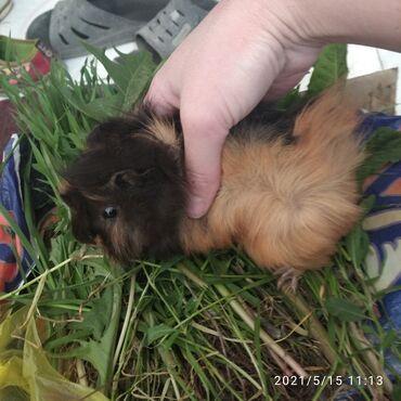 Морские свинки - Кыргызстан: Продаю Молоденькую морскую свинку, возраст 1,5 месяца