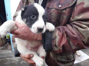 Продаются СРОЧНО чистокровные щенки в Бишкек