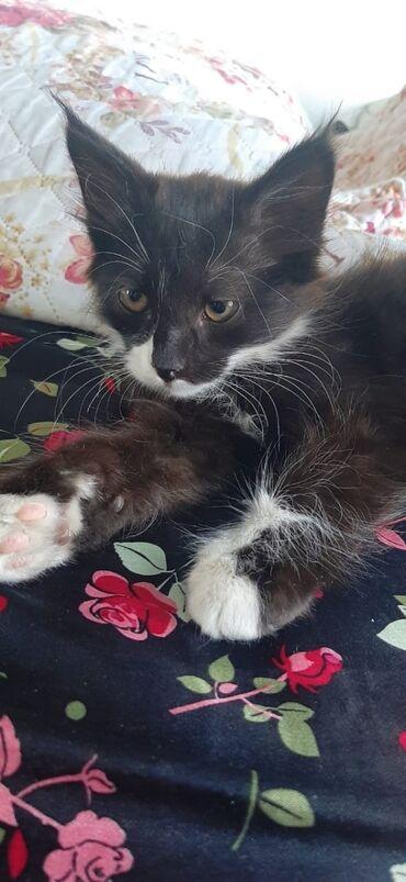 Животные - Кок-Джар: Отдам красавца котика . в добрые ласковые руки. так как он очень