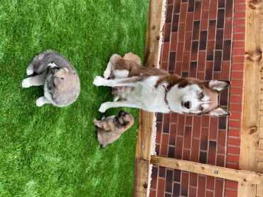 Pomsky puppies for adoption Pomsky puppies for any good home someone