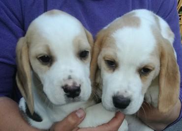 Όμορφη γενεαλογία Beagle Pups Pra Clear σε Kimmeria