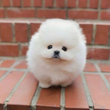 Για σκύλους - Καματερó: Πολύ γλυκά κουτάβια Pomeranian διαθέσιμα για επανεκκίνηση αρσενικών