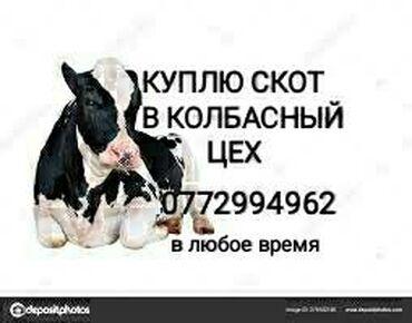купить-быка-на-мясо в Кыргызстан: В колбасный цех куплю скот бракованный старый вынужденных к забою