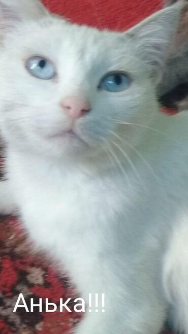 ищу кошку в Кыргызстан: Отдам даром кошку с голубыми глазами . Характер добрый покладисты с