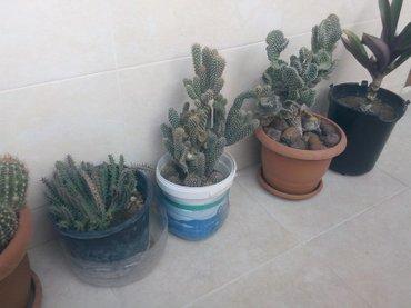 Xırdalan şəhərində Kaktus 15 manata satiram 1 ni.