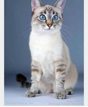 Домашние котята! Ищем хорошего хозяина! Порода Блю тебби поинт тайска
