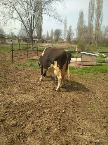 Продаётся корова. Голштин. 5 оттелом. Молоко 17 литров на данный