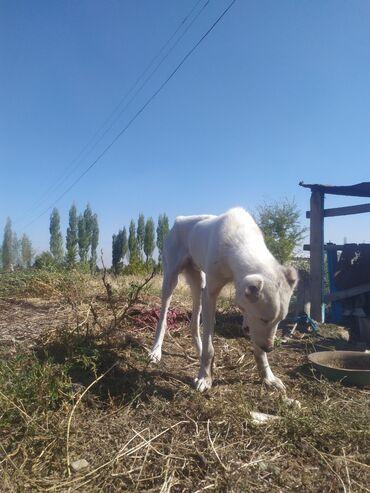 квартира берилет кызыл аскерден in Кыргызстан | БАТИРЛЕРДИ УЗАК МӨӨНӨТКӨ ИЖАРАГА БЕРҮҮ: Собака-8месяцев,Порода-Алабай  смешанный! не кусает просто так,любопыт