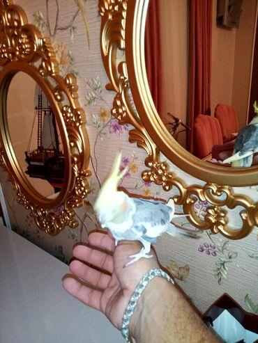 Maltez balonka satılır pudel balonka oğlandı cox ağıllı itdır tualet