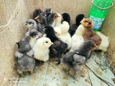 Цыплята Брамы .суточные по 100 сом недельные 120