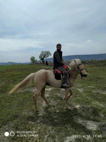 Aston martin rapide 5 9 at - Azərbaycan: At satilir isteyen olsa zeng etsin razilaşariq