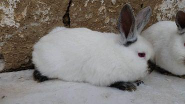 Продаются кролики породы в Бишкек