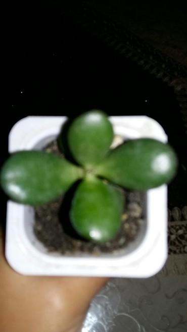Otaq bitkiləri Sumqayıtda: PUL GÜLÜ BALALARI-1 MANAT