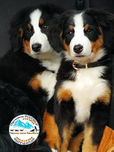 акустические системы rs колонка в виде собак в Кыргызстан: Бернский зенненхунд, дата рождения 26.11.2019, полный пакет