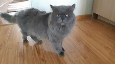 Кот на вязку! Кот опытный.  Длинношерстный британец
