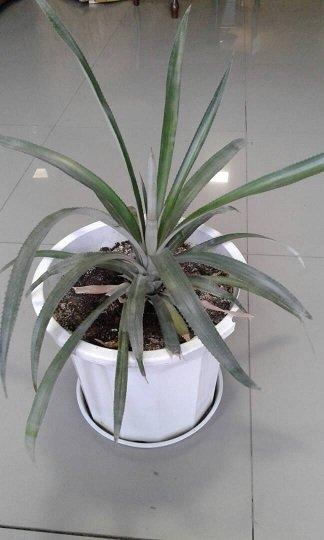 Комнатное растение ананас, стильно и красиво в Бишкек