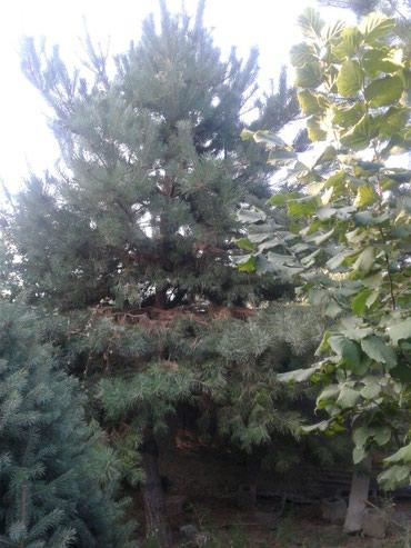 Сасна 6-7 метровый в Лебединовка