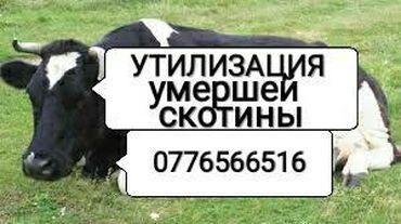 С/х животные - Кыргызстан: УТИЛИЗАЦИЯ СКОТА НА КОРМ СОБАКАМ