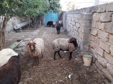 qoyunlar - Azərbaycan: Diwi bogaz ve ana bala qoyunlar. Qiymetler munasibdir. Istiyen elaqe