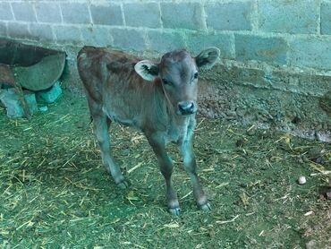 продам теленка в Кыргызстан: Продаю телёнку 2 месяц от высоко двойных коровы