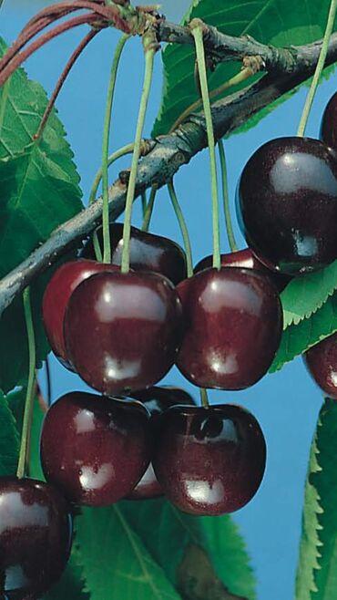 Европейские Саженцы плодовых деревьев: черешня, яблоня,малина