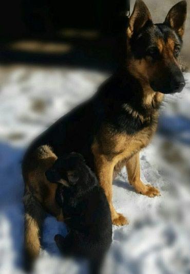 хорошие портнихи в бишкеке в Ак-Джол: Продаю овчарок щенки хорошие чёрные красные родились 9 января есть