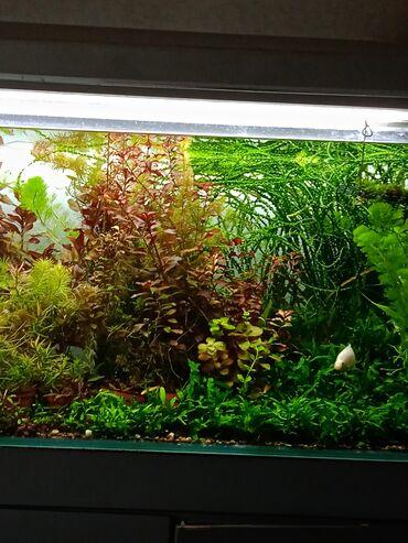 Растения для аквариума(мхипапоротники