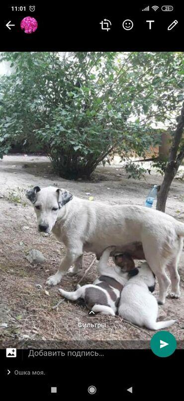 Собака почти белая. Чудесная.Добрая благодарная. Хорошо играет с дет