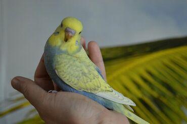 Волнистые попугаиХорошо учаться говорить!Легко приручаютсяНе сложны в