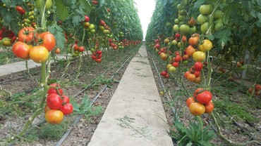 Теплицы - Кыргызстан: Продаю агробизнес. Земельный участок сельхоз назначения общей площадью