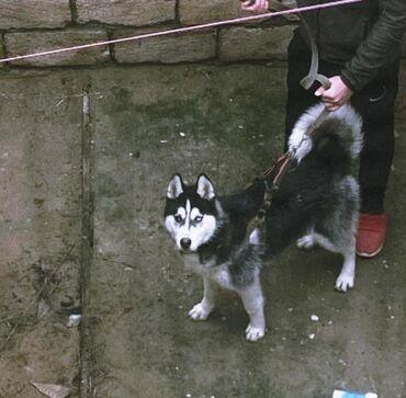 xaski it - Azərbaycan: Xaski8 aylıq erkekdi. Çox paxotkalı duruşu gözel simpaticni itdi