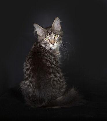 Продается кошка породы Мейн-кун. Все вопросы по телефону или WhatsApp