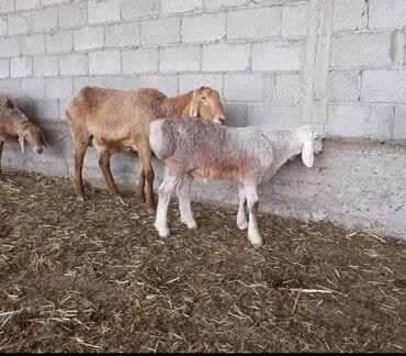 Продаю 3х-4х месячных ягнят новых кровей привезённого с Шымкента кочко