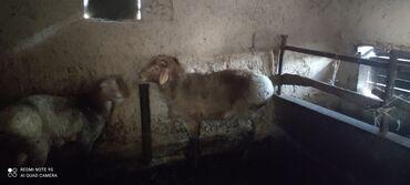 Флипчарты 66 х 96 см лаковые - Кыргызстан: Продаются кочкор, возраст 1 год  Доп.тел