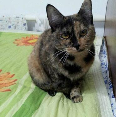 метис персидской кошки в Кыргызстан: Пропала кошка в 5 микройрайоне сиамская светлая окрас черепашковый 5 л