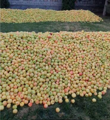 аристон 50 литров цена ош in Кыргызстан | ДРУГАЯ БЫТОВАЯ ТЕХНИКА: Продаём яблоки. Сорт голден. Отсортированные. Оптом и мелким оптом