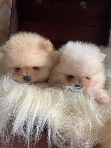 Γεια σας, εδώ έχουμε 2 υπέροχα κουτάβια Pomeranian, 1 κορίτσι και 1