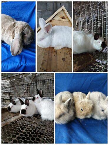 Декоративные кролики - Кыргызстан: Продаю крольчат разных пород, и возрастов. Все чистокровные, из под