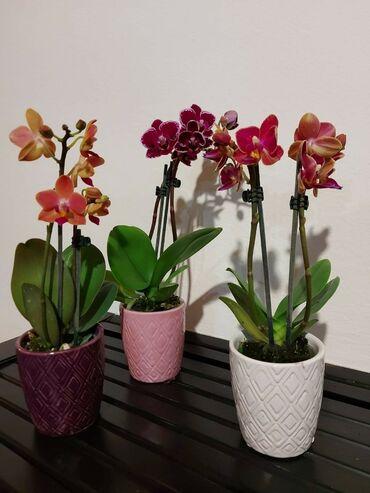 Kuća i bašta - Veliko Gradiste: Mini orhideje