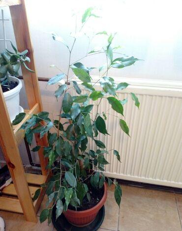 Preko grudi - Srbija: Fikus bendzamin Razgranata biljka preko 1m.Bujna