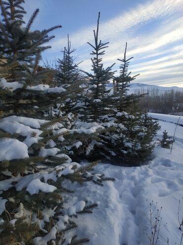 Радиорубка каракол ак тилек плюс - Кыргызстан: Продаю голубые ели и тяньшанские ёлки!Высота до 3,5 метровСрочно! Ёлки