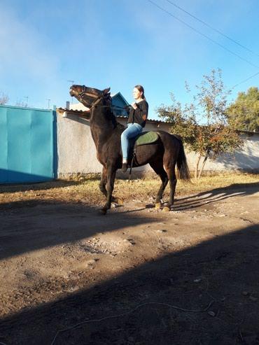 Лошади из России в Кант - фото 7