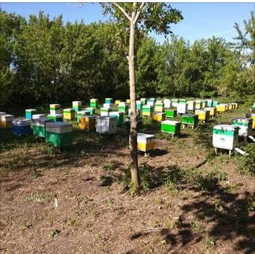 Kənd təsərrüfatı heyvanları - Bakı: Arı ailələrinin və 100% təmiz balın satışı. Arılar təmiz bozqafqaz