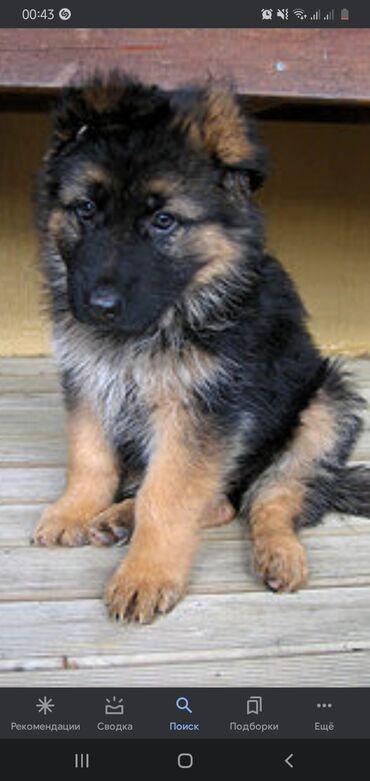 купить для собаки в Кыргызстан: Хочу купить щенка немецкую овчарку (мальчик) за 4000с