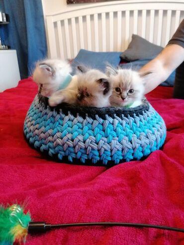 Το Ragdolls είναι έτοιμο για νέο σπίτιViber . Viber (+)Όμορφο γατάκι