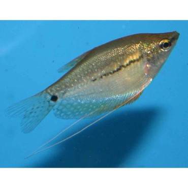 Pearl Gourami - Trichogaster leerii - Small σε Artemi