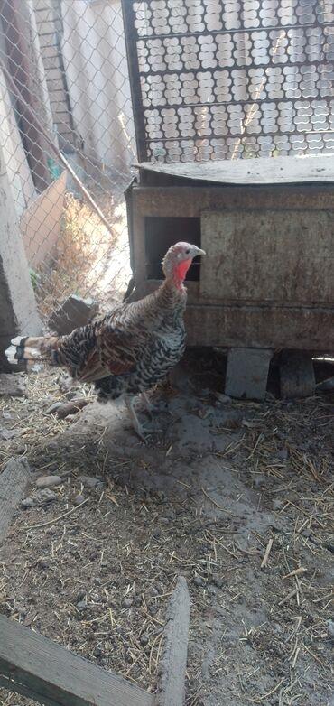 Животные - Кызыл-Туу: Срочно продаю индюшку годовалую,порода северо кавказская,цена 1800сом