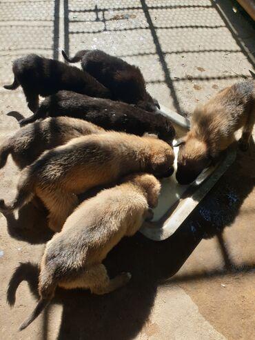 Животные - Нижний Норус: Щенки полукровка мама немец с документами .Уже все кушают