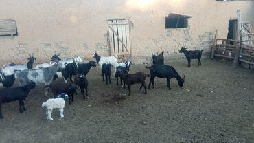 Животные - Заря: Продаю | Коза (самка) | Для разведения | Котные